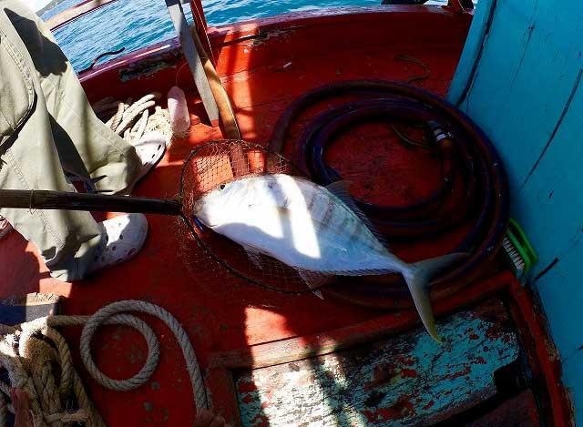 コガネシマアジ バンサレー 釣り