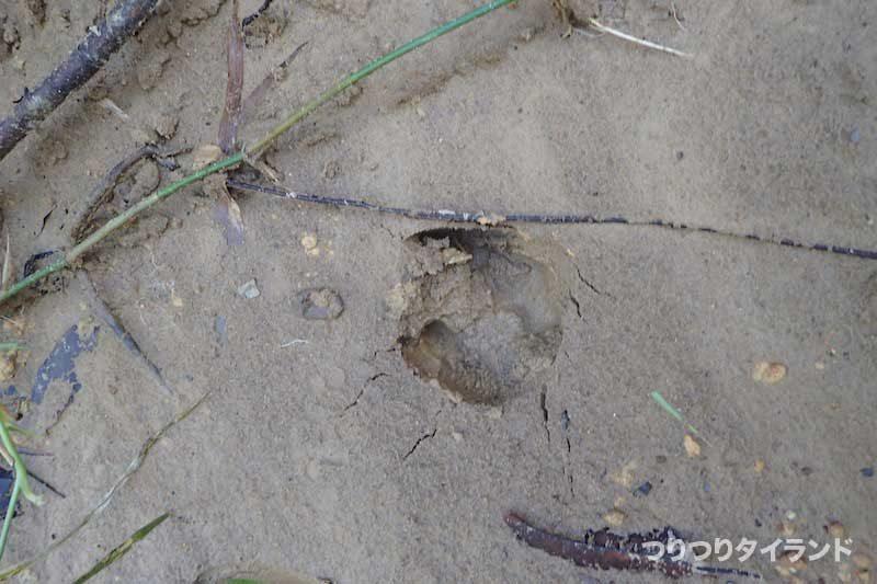 タイ 釣り 動物 足跡