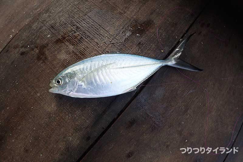 マブタシマアジ 陣田筏