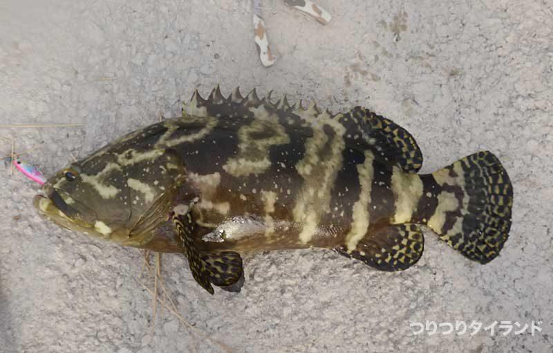 タマカイ Giant grouper