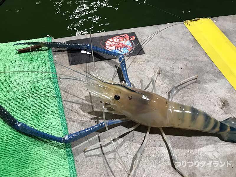 シャクって釣ったオニテナガエビ
