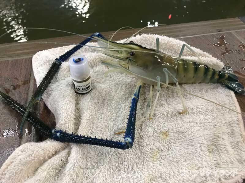 釣った大型のエビ