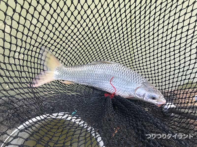 プーヤー釣り堀で釣れた謎の魚