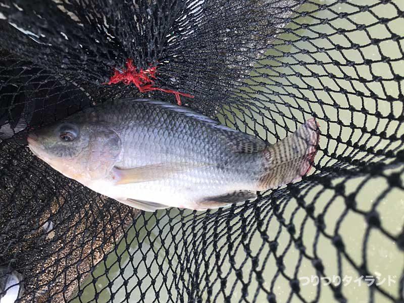 プーヤー釣り堀で釣ったティラピア