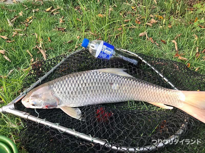 プーヤー釣り堀のしっぽの大きな魚