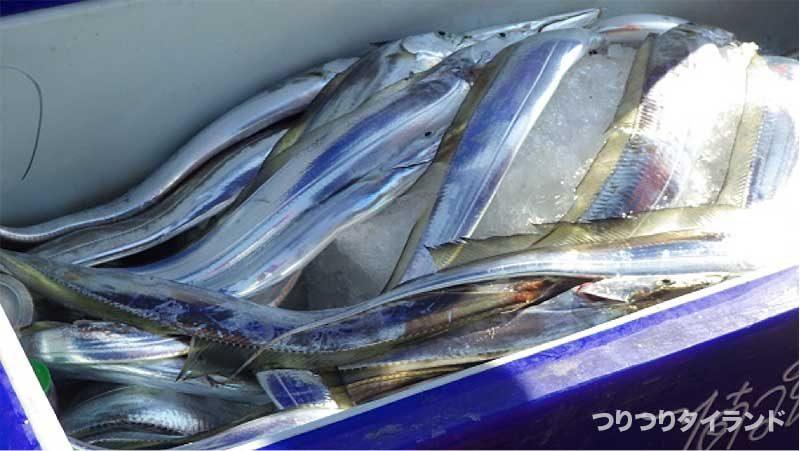 クーラーのタチウオ 太刀魚