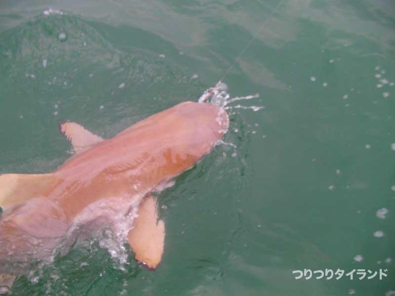 ツマグロ サメ