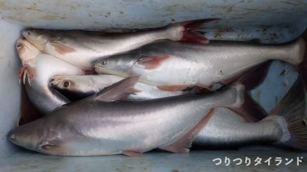 チャオプラヤ川 ナマズの釣果