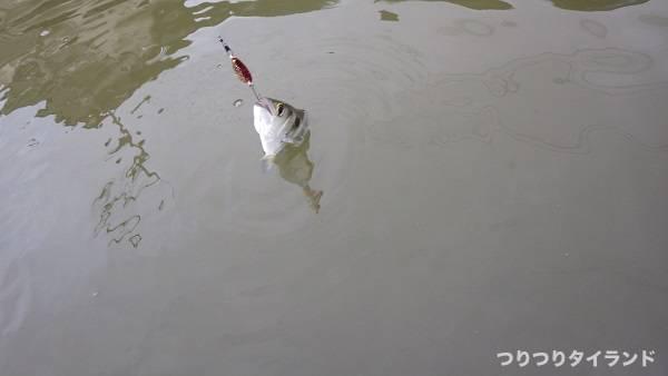 小型スプーンで釣れた鉄砲魚 テッポウウオ