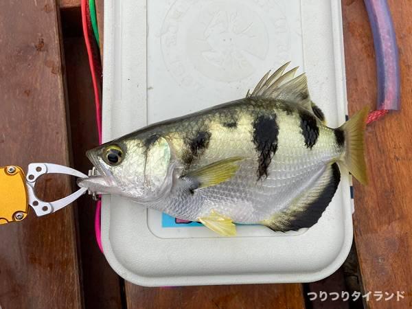 大型鉄砲魚