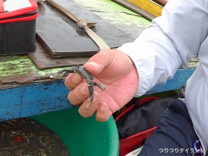 タイ アンシラー沖 チヌ釣り エサ カニ