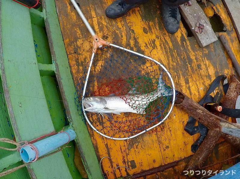 タイランド湾 グラオ ミナミコノシロ